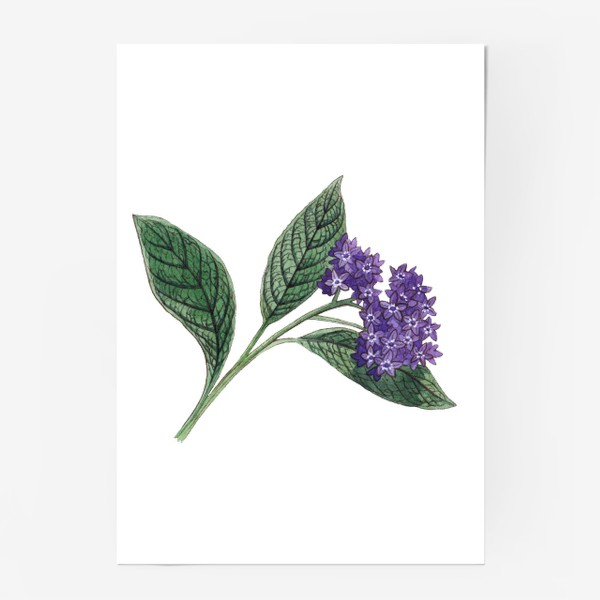 Постер «Ботаника. Веточка гелиотропа»