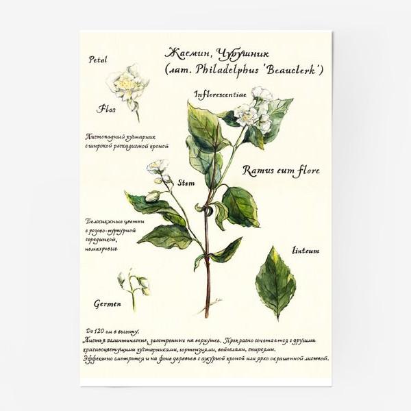 Постер «Жасмин (Чубушник)»