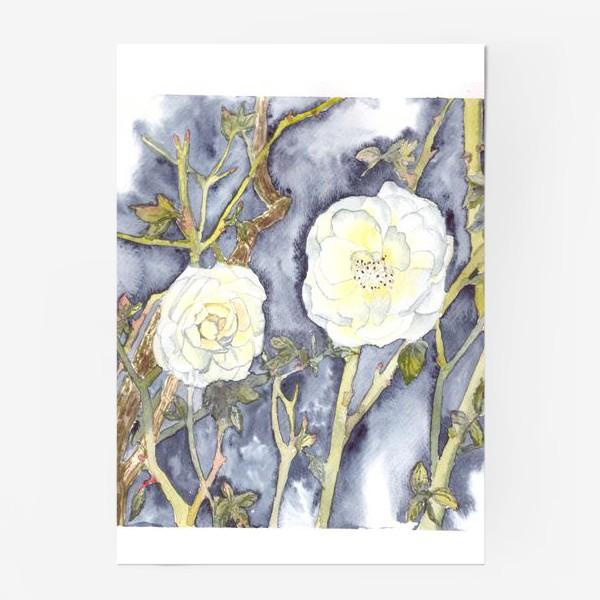 Постер «белый шиповник дикие розы»