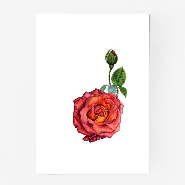 Постер «Красно - шоколадная роза»