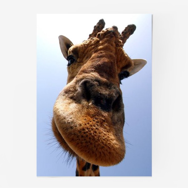Постер «Жираф 2»