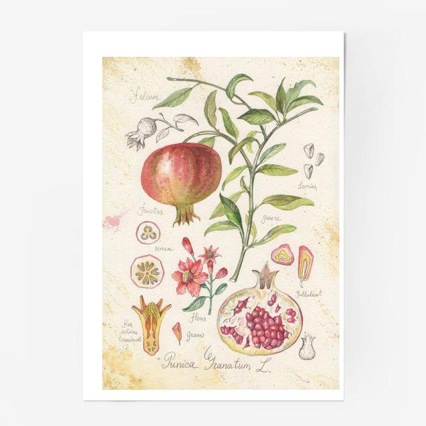 Постер «ботаническая иллюстрация гранат»