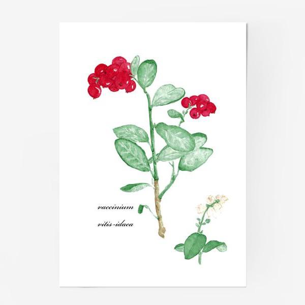 Постер «Брусника(vaccinium vitis-idaea)»