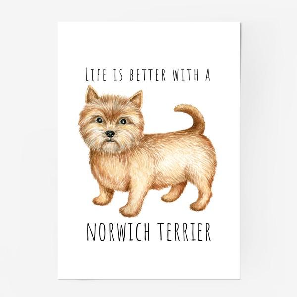 Постер «Норвич терьер, смешная собака»