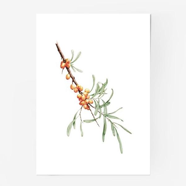 Постер «Ветка облепихи ботаническая иллюстрация»